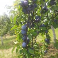 Vand prune ptr tuica oferta Fructe