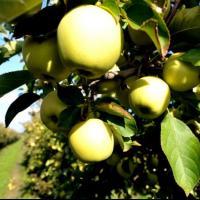 Vand mere Golden si Ionatan prodctie proprie oferta Fructe