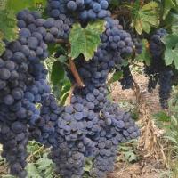 Struguri de vin si masa oferta Vita de vie