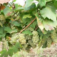 Vand struguri pentru vin din podgoria Cotesti oferta Vita de vie
