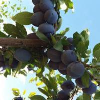 Vand prune pentru tuica oferta Fructe