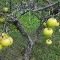 Vand mere pentru consum industrie si suc oferta Fructe