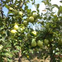 Vand mere Golden oferta Fructe