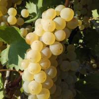 Vand struguri pentru vin calitate foarte buna oferta Vita de vie