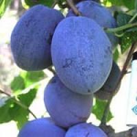 PRUNE,STRUGURI,POMI ALTOITI oferta Fructe