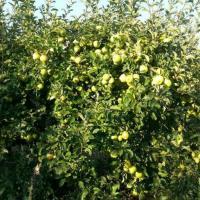 Vand mere Golden productie proprie oferta Fructe