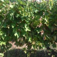Producator vand struguri de vin diverse soiuri pot transporta la domiciliu oferta Vita de vie