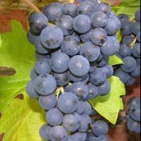 Producator, vand struguri Merlot oferta Fructe