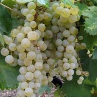 Struguri de vin  oferta Vita de vie