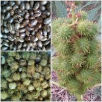 Vand seminte de ricin oferta Seminte
