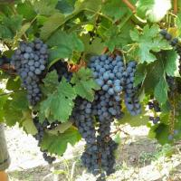 Vand struguri de vin si de masa oferta Vita de vie