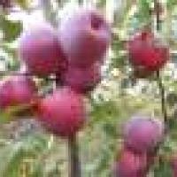 Vand MERE en gross oferta Fructe