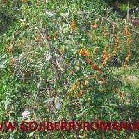 Seminte si plante Goji NQ1 Poza
