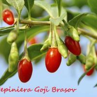 Pepiniera Goji Brasov - plante de calitate oferta Material saditor