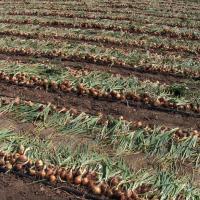 Seminte de ceapa , soi  Holtedon , Rep.Moldova Poza
