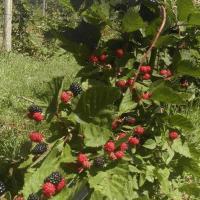 Vindem mure proaspete si mure congelate 100% naturale oferta Fructe