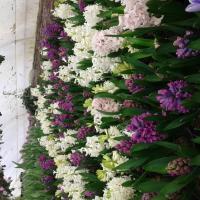 zambile si muscate oferta Flori si plante ornamentale