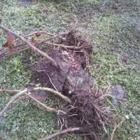 Butasi mur soiul Thornfree  oferta Seminte