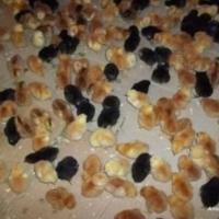 Vând pui de gaina o zi oferta Animale