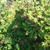Mure soiul Thornfree en gros si en detail oferta Fructe