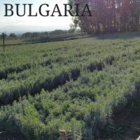 Butasi de lavanda for sale Poza