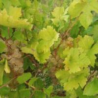 Vand struguri de vin  Poza