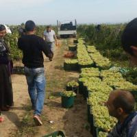 Vând struguri de vin cu livrarii la domicilui, în toată ţara  oferta Fructe