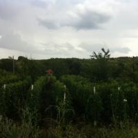 Butasi vita de vie - Pietroasele - Buzau Poza
