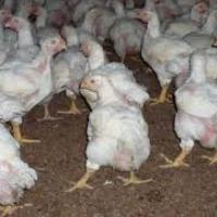 Pui de gaina de o zi,pui de carne,rasa mixta,pui de curca,pui crescuti oferta Animale