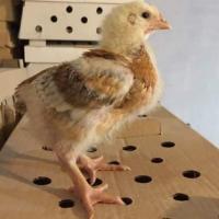 Vand pui de găină o zi  oferta Animale