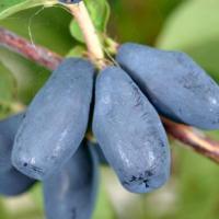 LONICERA CAERULEA - AFIN SIBERIAN - HONEYBERRY - plantație pretabilă cultură ECO oferta Agricultura ecologica