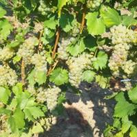 Vin de Pietroasele,Buzau Poza