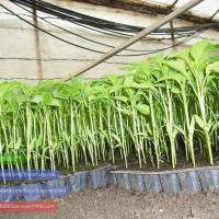 Rasaduri legume ardei rosii castraveti vinete de vanzare oferta Legume