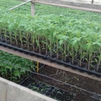 Rasaduri legume ardei rosii castraveti vinete de vanzare Poza