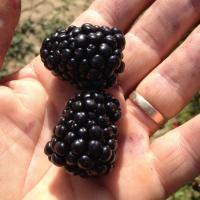 VAND Mure Thornfree oferta Fructe