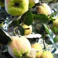 vindem gutui bio, livada proprie oferta Fructe
