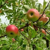 Vand mere, soiuri diverse oferta Fructe