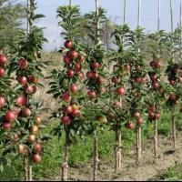 Pomi columnari pitici,meri.ciresi,caisi,nectarin-10+5 gratis anul3 Poza