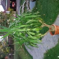 Planta Yuca Poza