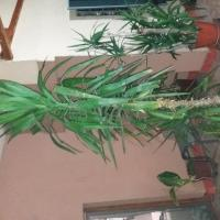 Planta Yuca oferta Flori si plante ornamentale