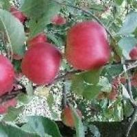 Vand mere pentru consum si industrie  oferta Fructe