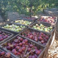 Mere de consum, de sc sau de tuica oferta Fructe