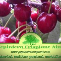 Vand material saditor pomicol certificat Produs in Romania oferta Pepiniere