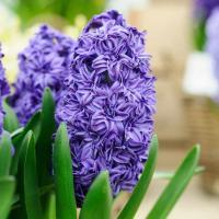 Zambile la ghiveci oferta Flori si plante ornamentale
