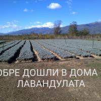 Lavender Plants  Poza