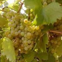 Vand struguri de vin de cea mai buna calitate Poza