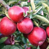 Mere de vanzare din soiurile Florina si Idared, pret 1,20 lei per kg oferta Fructe