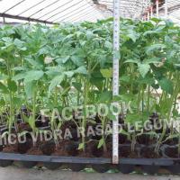 Vand rasaduri legume : Rasad rosii ardei castraveti vinete salata oferta Legume