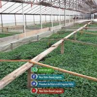 Vand rasaduri legume : Rasad rosii ardei castraveti vinete salata Poza
