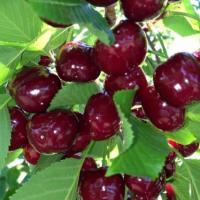Vand Cireşe Bigaro Burlat - super calitate! oferta Fructe